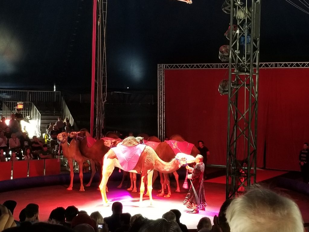 Circus camel, circus animals