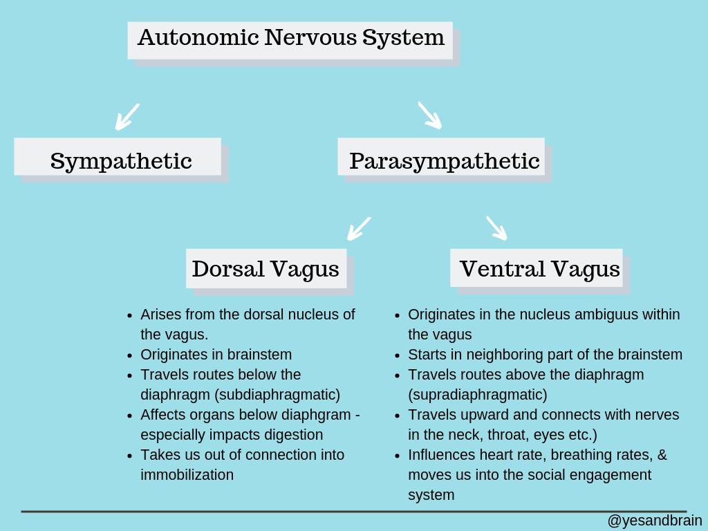 The autonomic nervous system explained