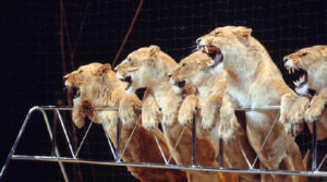 Another Look at Animals in the COVID-19 Circus World